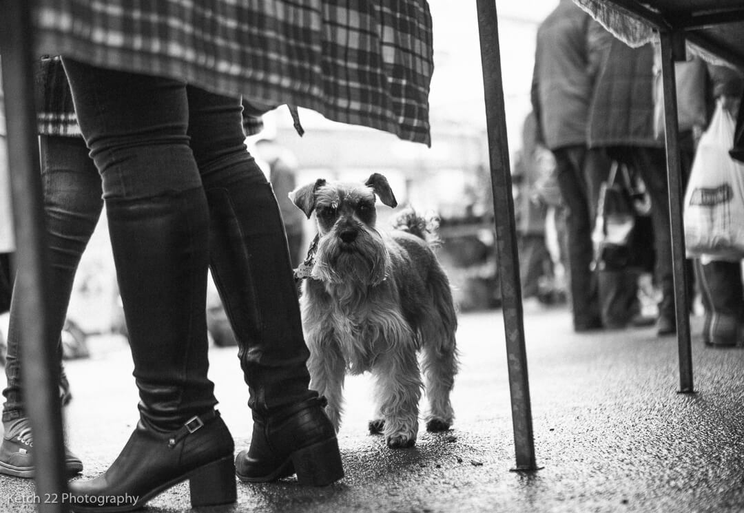 Terrier dog stood by ladies legs
